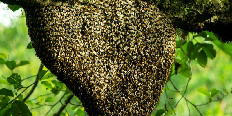 Bee Swarms: How to Avoid and What to Do If They Attack